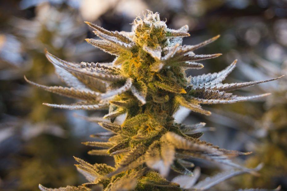 Marijuana tutti i tipi e le caratteristiche